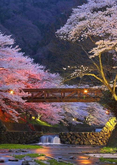 Japan Flower Festival Japan Cheery Blossom Festival